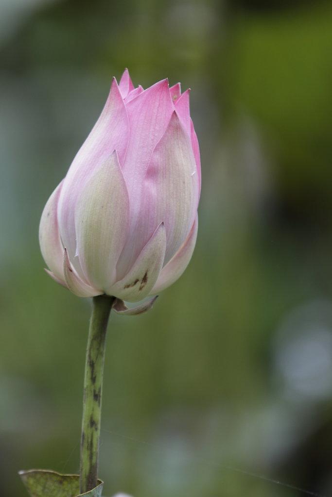 Lotus.JPG